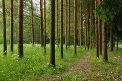 Árboles de pino encantadores con el camino Fotografía de archivo libre de regalías