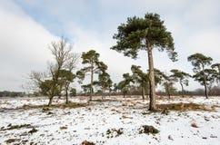 Árboles de pino escocés en un área natural grande en invierno Fotografía de archivo libre de regalías