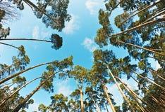 Árboles de pino fotografiados en una lente de fisheye Fotos de archivo libres de regalías