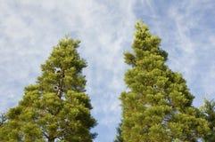 Árboles de pino gemelos fotografía de archivo libre de regalías