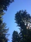 Árboles de pino grandes contra el cielo azul en el día soleado fotos de archivo