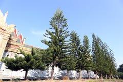 Árboles de pino grandes en paredes de la fila Imagen de archivo libre de regalías