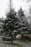 Árboles de pino helados en el parque Fotos de archivo libres de regalías