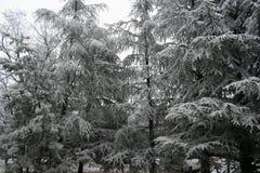 Árboles de pino helados en el parque Imágenes de archivo libres de regalías