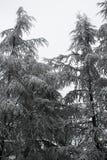Árboles de pino helados en el parque Imagenes de archivo