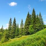 Árboles de pino hermosos Fotografía de archivo