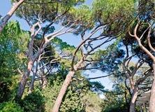Árboles de pino hermosos Fotografía de archivo libre de regalías