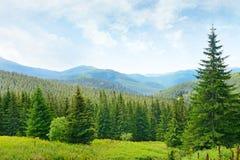 Árboles de pino hermosos Foto de archivo