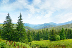 Árboles de pino hermosos Imagen de archivo