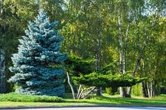Árboles de pino hermosos en el parque el día soleado Fotografía de archivo