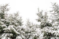 Árboles de pino imperecederos cubiertos con nieve en invierno Foto de archivo