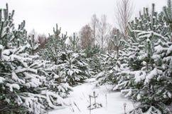 Árboles de pino jovenes cubiertos con nieve fotografía de archivo libre de regalías