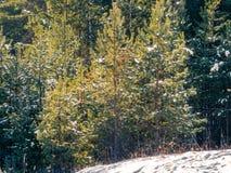 Árboles de pino jovenes cubiertos con nieve en una colina en el bosque fotografía de archivo libre de regalías
