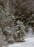 Árboles de pino jovenes en invierno Fotografía de archivo