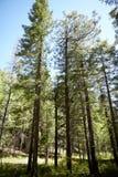Árboles de pino larguiruchos altos en un bosque conífero Imagen de archivo libre de regalías