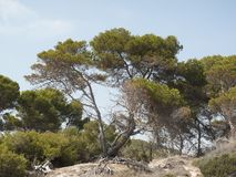 Árboles de pino marítimos fotos de archivo