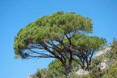 Árboles de pino mediterráneos Fotos de archivo
