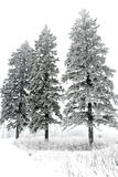 Árboles de pino nevados Imagen de archivo libre de regalías
