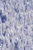 Árboles de pino nevados Fotos de archivo libres de regalías