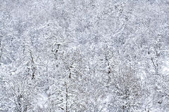 Árboles de pino nevados imagenes de archivo