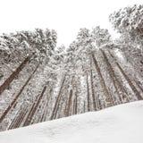 Árboles de pino nevados en invierno fotografía de archivo