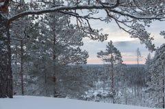 Árboles de pino nevados fotografía de archivo libre de regalías