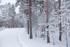 Árboles de pino nevados fotos de archivo