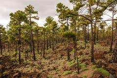 Árboles de pino que crecen en un paisaje volcánico en el nacional de Teide fotos de archivo