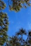 Árboles de pino que enmarcan el cielo Fotografía de archivo
