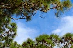 Árboles de pino que enmarcan el cielo Fotografía de archivo libre de regalías