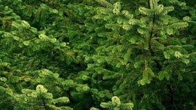 Árboles de pino que se sacuden en brisa almacen de metraje de vídeo