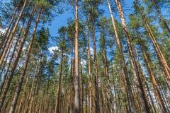 Árboles de pino que soportan el cielo Foto de archivo libre de regalías