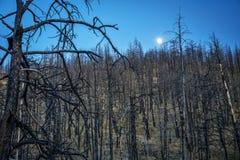 Árboles de pino quemados por incendio fuera de control Imágenes de archivo libres de regalías