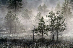 Árboles de pino, rocío de la mañana Imagenes de archivo