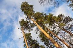 Árboles de pino salvajes altos sobre el cielo azul Imagenes de archivo