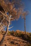 Árboles de pino secos y cielo azul Bosque costero en Marruecos Fotografía de archivo libre de regalías