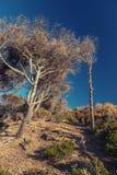 Árboles de pino secos y cielo azul Paisaje costero del bosque moro Fotos de archivo