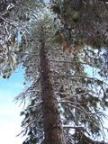 Árboles de pino silenciosos altos Fotografía de archivo