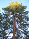 Árboles de pino silenciosos altos Dos se convertirán en uno Fotografía de archivo