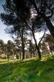 Árboles de pino, sombra Imagen de archivo libre de regalías