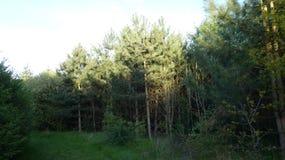 Árboles de pino de una tarde Ailim 1 fotografía de archivo libre de regalías