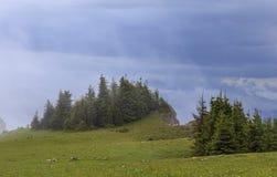 Árboles de pino verdes en niebla después de la lluvia fotos de archivo