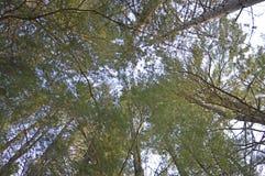 Árboles de pino verticales Foto de archivo