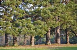 Árboles de pino viejos en fila foto de archivo libre de regalías