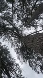 Árboles de pino viejos en la granja de Nueva Zelanda fotografía de archivo