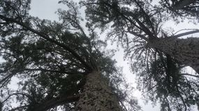 Árboles de pino viejos que crecen en Nueva Zelanda fotografía de archivo