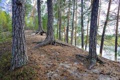 Árboles de pino viejos y sus raíces en la colina Imagen de archivo