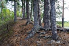 Árboles de pino viejos y sus raíces en la colina Fotografía de archivo libre de regalías