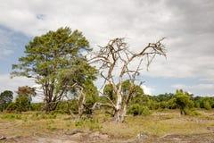 Árboles de pino y bayas de enebro Fotos de archivo libres de regalías