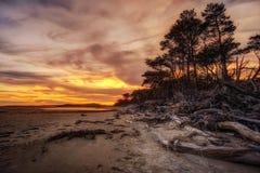 Árboles de pino y playa de la madera de deriva Fotografía de archivo